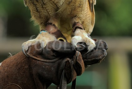 Eagle Owl feet on handler's glove